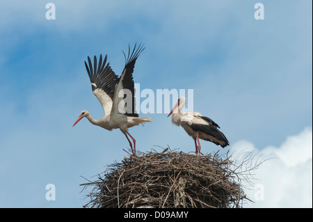 Couple of White storks (Ciconia ciconia) on the nest, one in flight, Izmir Province, Aegean region, Turkey - Stock Photo