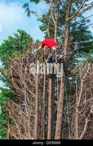 Tree trimmer working, Belgium - Stock Photo