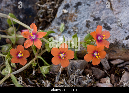 Scarlet pimpernel (Anagallis arvensis) close-up, in flower, Berry Head, Devon, England, UK - Stock Photo