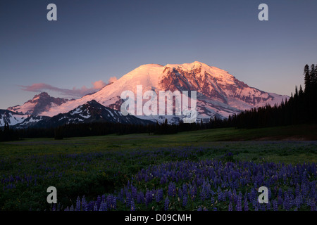 WA06944-00...WASHINGTON - Lupine in Grand Park and Mount Rainier at sunrise in Mount Rainier National Park - Stock Photo