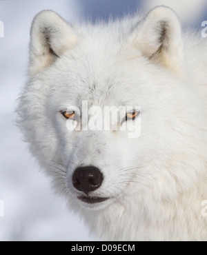 White Alpha male Arctic wolf portrait in winter. - Stock Photo