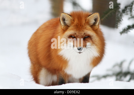 Superb male red fox in Canadian winter - Stock Photo