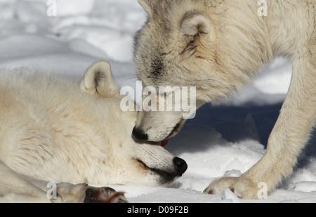 Arctic wolves closeup pair in snow - Stock Photo