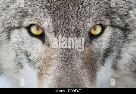 A close-up photo of a menacing wolf with a yellow eyes. - Stock Photo