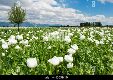 Opium poppy field, (Papaver somniferum), Turkey - Stock Photo