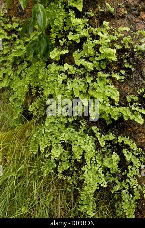 Maidenhair Fern (Adiantum capillus-veneris) at native site on wet tufa at Anstey Cove, Torbay, Devon, England, UK - Stock Photo