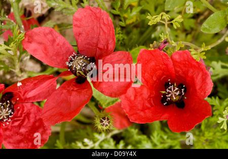 Rough Poppy (Papaver hybridum) flower and fruit, on arable land at Ranscombe Farm nature reserve, Kent, England, - Stock Photo
