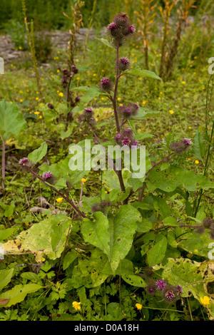 Lesser Burdock (Arctium minus) in flower and fruit - Stock Photo