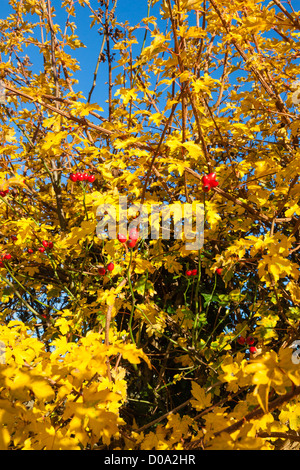 Golden winter hawthorn leaves and red rose hips in a hedgerow near Penshurst, Kent, UK - Stock Photo