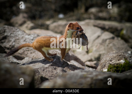 Stoat with prey - Stock Photo