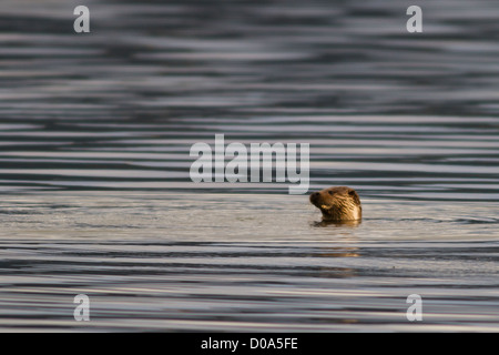 Wild Otter plays at the surface of a sea loch - Stock Photo