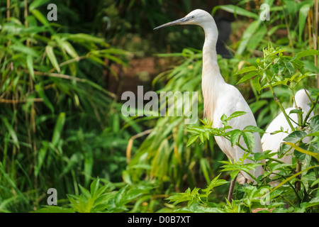 A Little Egret looking out from tree branches at the Lake District Wild Animal Park. - Stock Photo