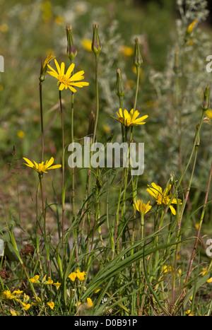 Goatsbeard (Tragopogon pratensis ssp. pratensis)continental form, close-up, French Alps - Stock Photo