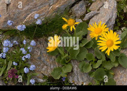 Large-flowered Leopard's Bane (Doronicum grandiflorum) with alpine forget-me-not, in flower, Vanoise National Park, - Stock Photo