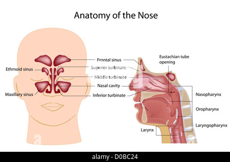 Nose anatomy, labeled - Stock Photo