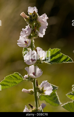 Marshmallow (Althaea officinalis) in flower, late summer, close-up - Stock Photo