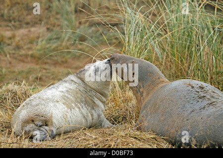 grey seal pup with mother (Halichoerus grypos) - Stock Photo