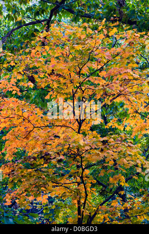 Backlit Maple Sapling in Forest with Early Autumn Color in Clifty Falls State Park in Jefferson County, Indiana - Stock Photo