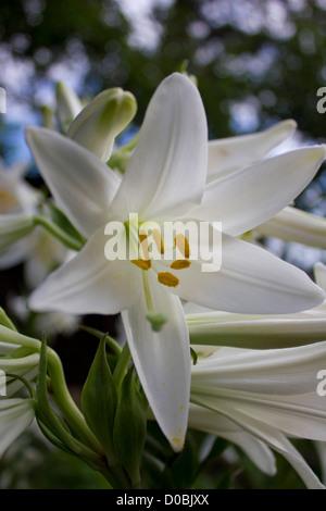 Madonna lily - Stock Photo