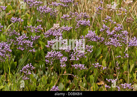 Common Sea-Lavender (Limonium vulgare) at the edge of saltmarsh, Hampshire, England, UK - Stock Photo
