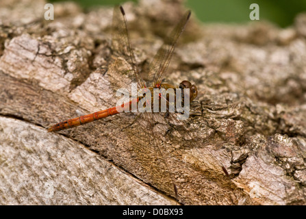 Common Darter (Sympetrum striolatum) dragonfly, male, settled on log, close-up - Stock Photo