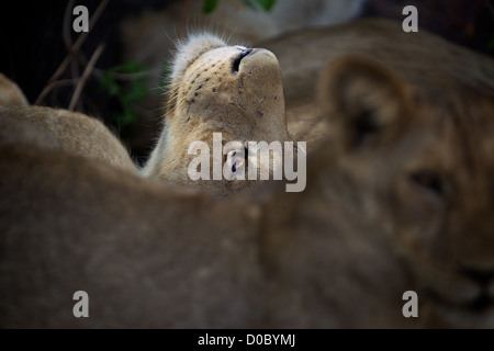 African Lion  cub Panthera leo  in Ruaha Game reserve . Southern Tanzania. Africa - Stock Photo