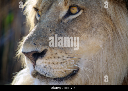 African Lion  Panthera leo  in Ruaha Game reserve . Southern Tanzania. Africa - Stock Photo