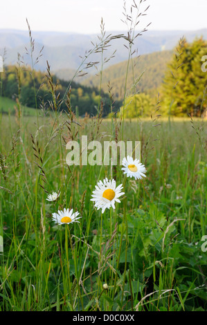 Daisies in a mountain meadow in the Black Forest, Germany - Stock Photo