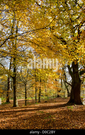 Dappled sunlight in autumn falls on trees & golden carpet of leaves in scenic peaceful woodland - Middleton Woods, - Stock Photo