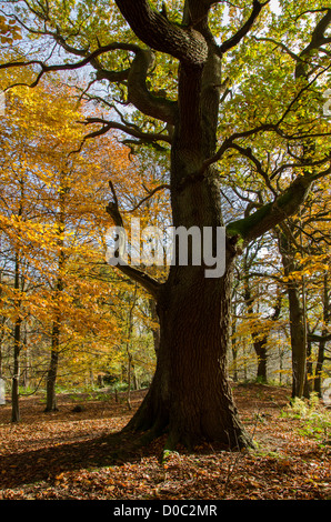Large tree silhouetted by autumn sunlight & carpet of golden leaves in quiet scenic woodland - Middleton Woods, - Stock Photo
