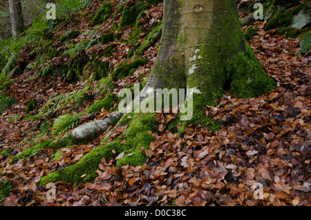 Close-up of trunk of beech tree growing on hillside, spreading roots covered in leaves & lichen - Bolton Abbey Estate, - Stock Photo