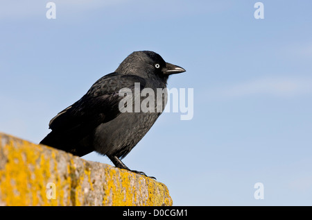 Jackdaw (Corvus monedula) on lichen-covered wall at Lynmouth, Devon, England, UK - Stock Photo
