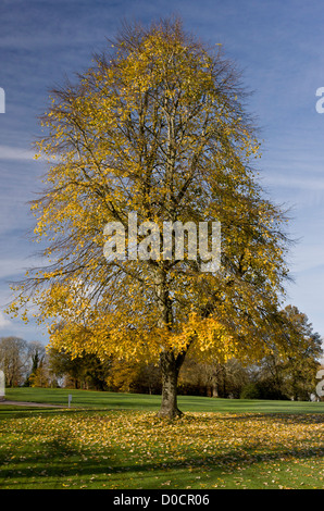 Large-leaved lime (Tilia platyphyllos) planted tree in autumn colours, Bryanston, Dorset, England, UK - Stock Photo