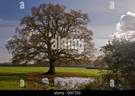 Farm pond in the Stour Valley, near Sturminster Newton, with common oak tree in autumn. Dorset, England, UK - Stock Photo