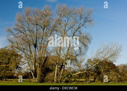 Native Black Poplar, or Black-poplar, Populus nigra ssp.betulifolia in hedgerow in autumn; Stour valley - Stock Photo
