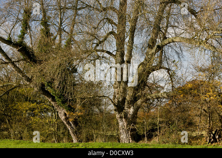 Native Black Poplar (Populus nigra ssp.betulifolia) in hedgerow in autumn, Stour valley, Dorset, England, UK - Stock Photo