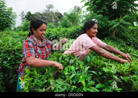 Two women picking tea leaves at a plantation, Sri Lanka - Stock Photo