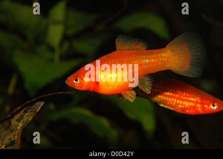 Swordtail (Xiphophorus hellerii) - female in a fish tank - Stock Photo