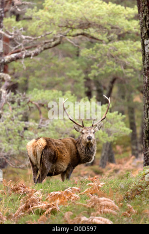 Red Deer stag (cervus elaphus) in the wild Scottish Highlands. Pictured in Glen Cannich, Inverness-shire, Scotland - Stock Photo