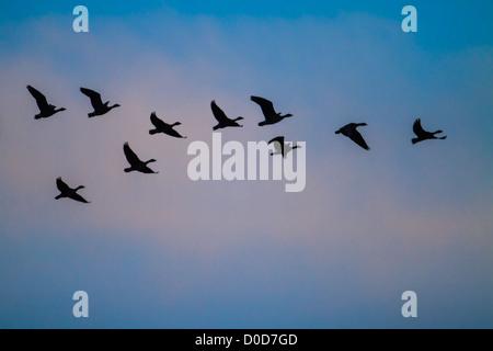 Pink-footed Goose (Anser brachyrhynchus) flock in flight at dawn, Snettisham, Norfolk - Stock Photo
