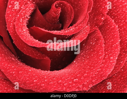 Close up shot of water drops on a red rose - Stock Photo