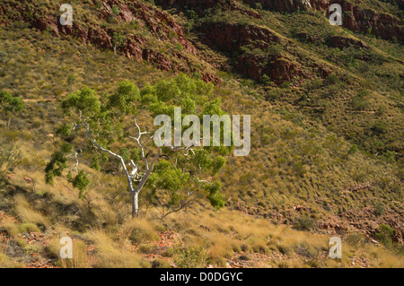Lone ghost gum in Ormiston Gorge, West MacDonnell Ranges west of Alice Springs, Red Centre of the Northern Territory, - Stock Photo