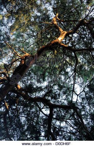 upwards view of pine tree with twisting twigs - Stock Photo
