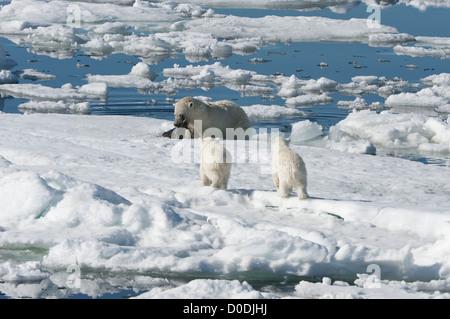 Female Polar bear (Ursus maritimus) hunting a ringed seal, Svalbard Archipelago, Barents Sea, Norway - Stock Photo