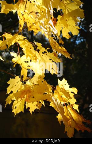Yellow autumn maple leaf on dark - Stock Photo