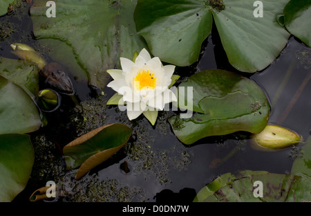 White water-lily (Nymphaea alba) in flower on lake, Dorset, England, UK - Stock Photo