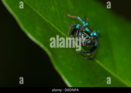 A jumping spider family Salticidae photographed in Khao Soi Dao Wildlife Sancuary, Thailand. - Stock Photo