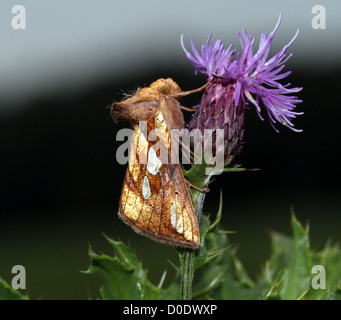 Gold Spot moth posing on a thistle in bloom - Stock Photo