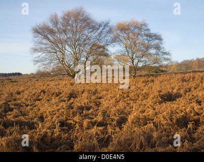 Sandlings heathland vegetation autumn Westleton Heath, Suffolk, England - Stock Photo