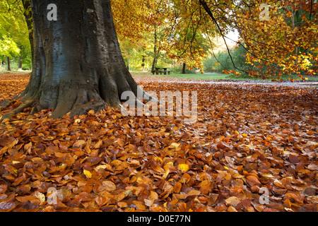 Fallen beech leaves in autumn in Savernake Forest near Marlborough, Wiltshire, Uk - Stock Photo